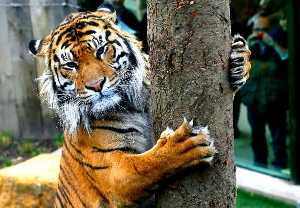 Втяжные когти тигра