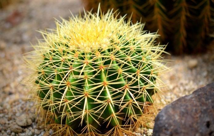 Чем для кактуса являются колючки?