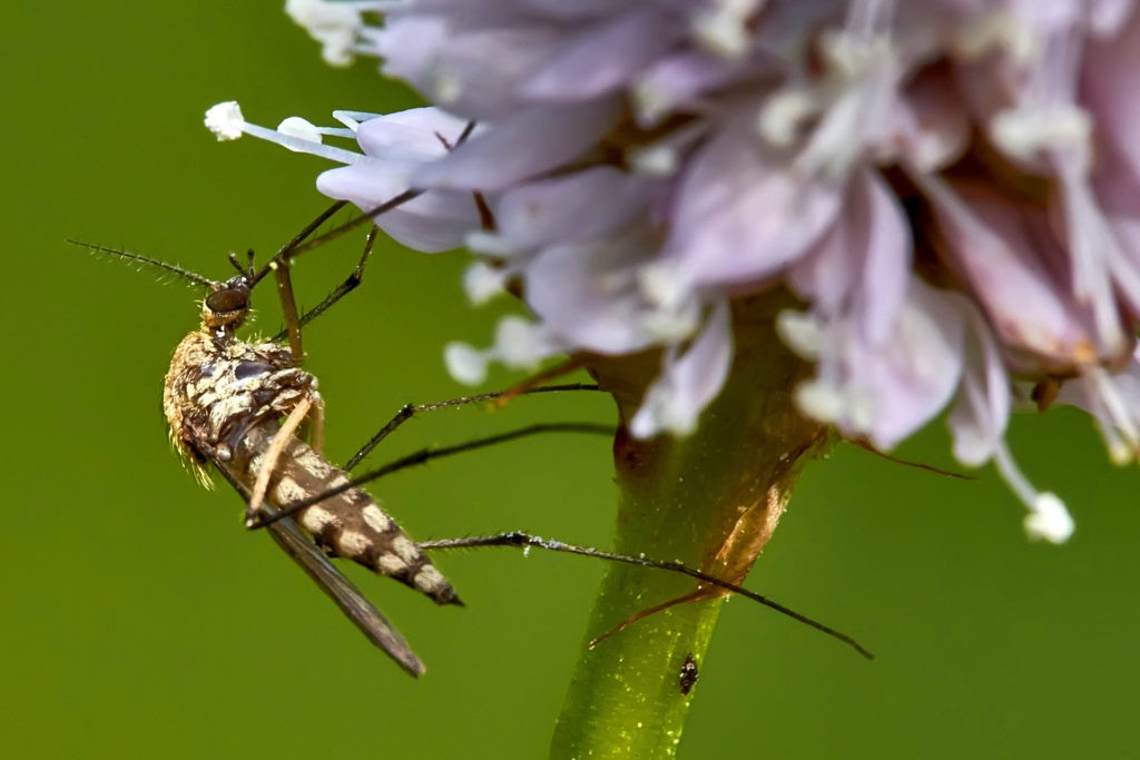 Комар питается растительным нектаром