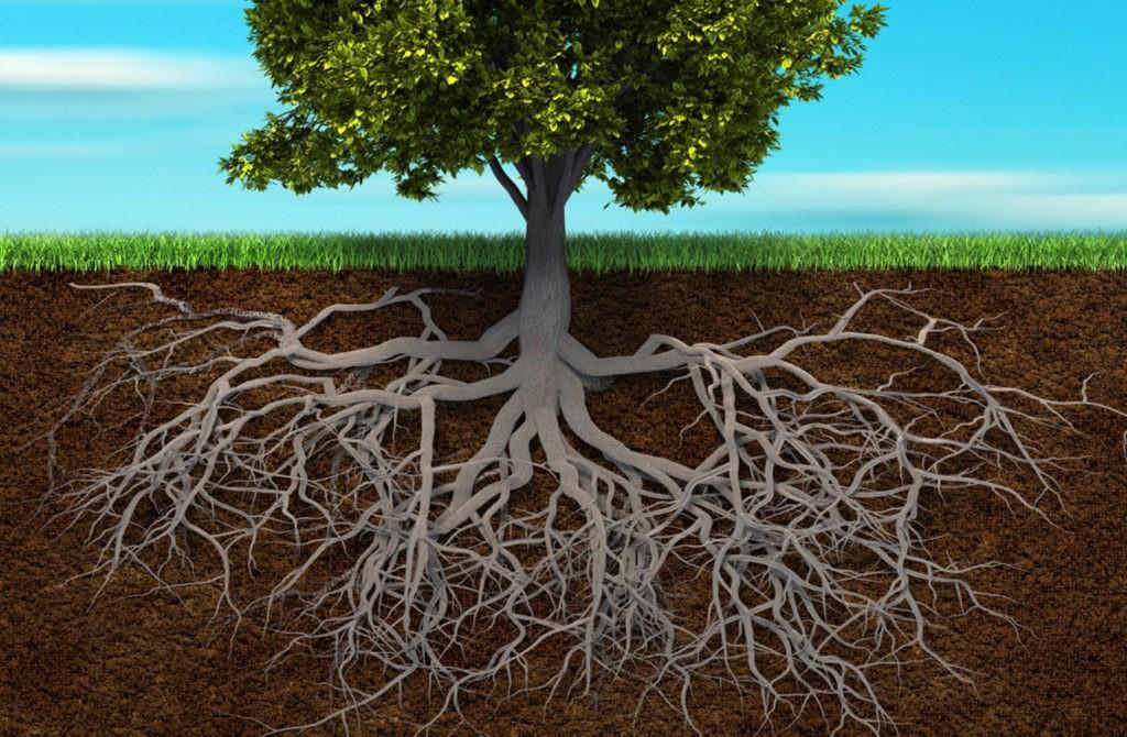 Мощная корневая система дерева
