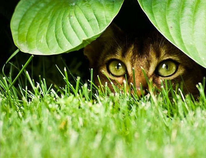 Кошки охотятся из засады