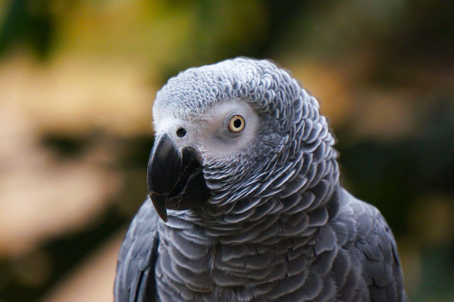 Как попугаи учатся говорить и понимают ли они слова?