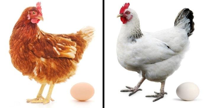 Цвет курицы и яйца