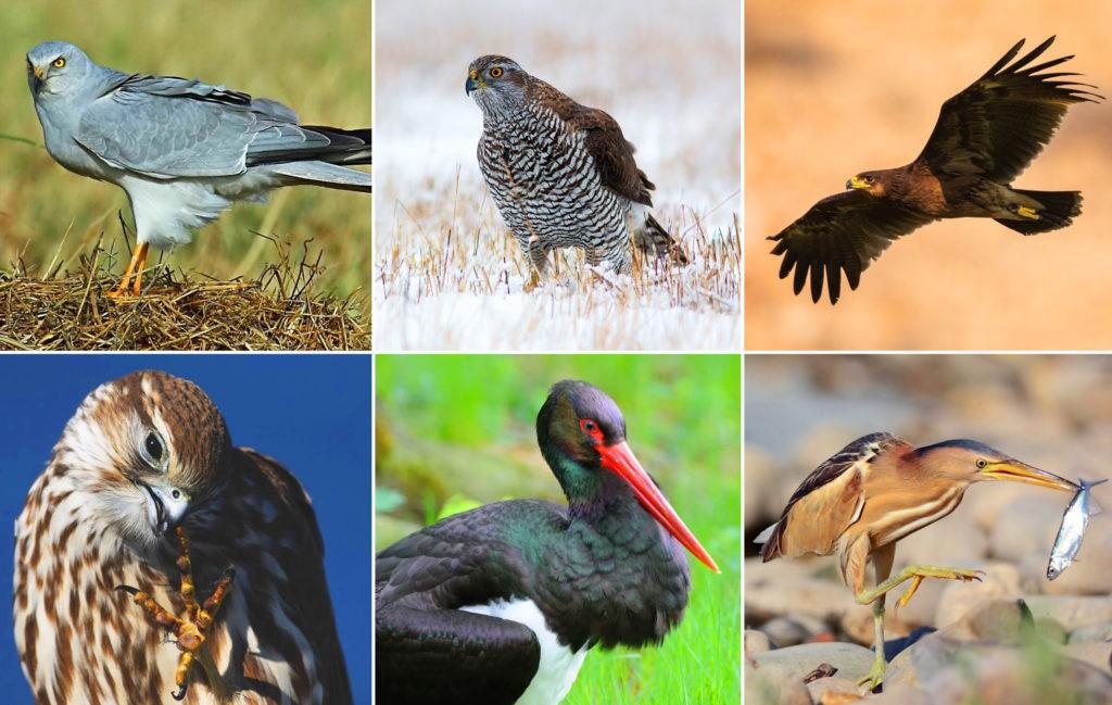 Крупные хищные птицы Подмосковья