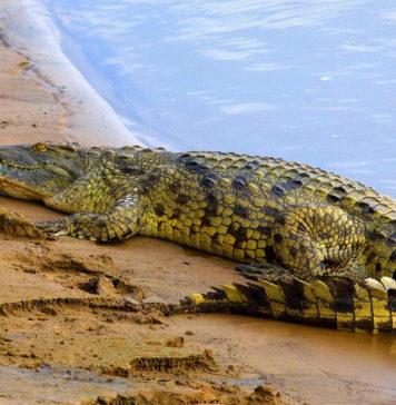 Как пьют крокодилы?
