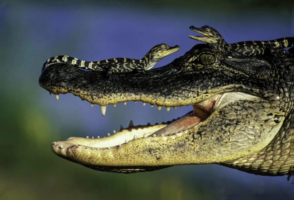 Крокодилы и крокодильчики