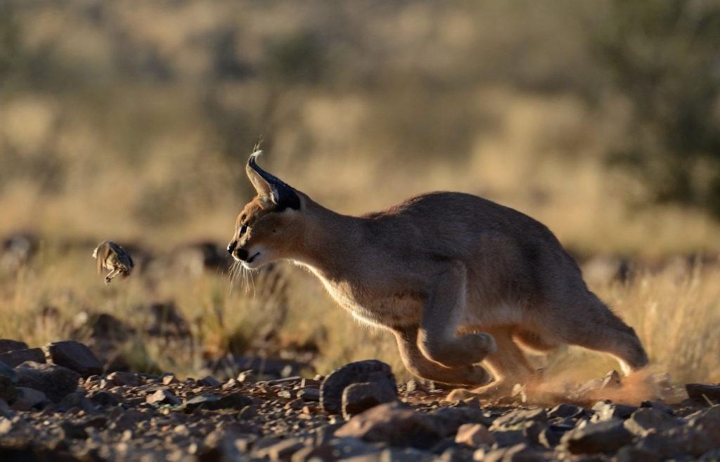Каракал - охота
