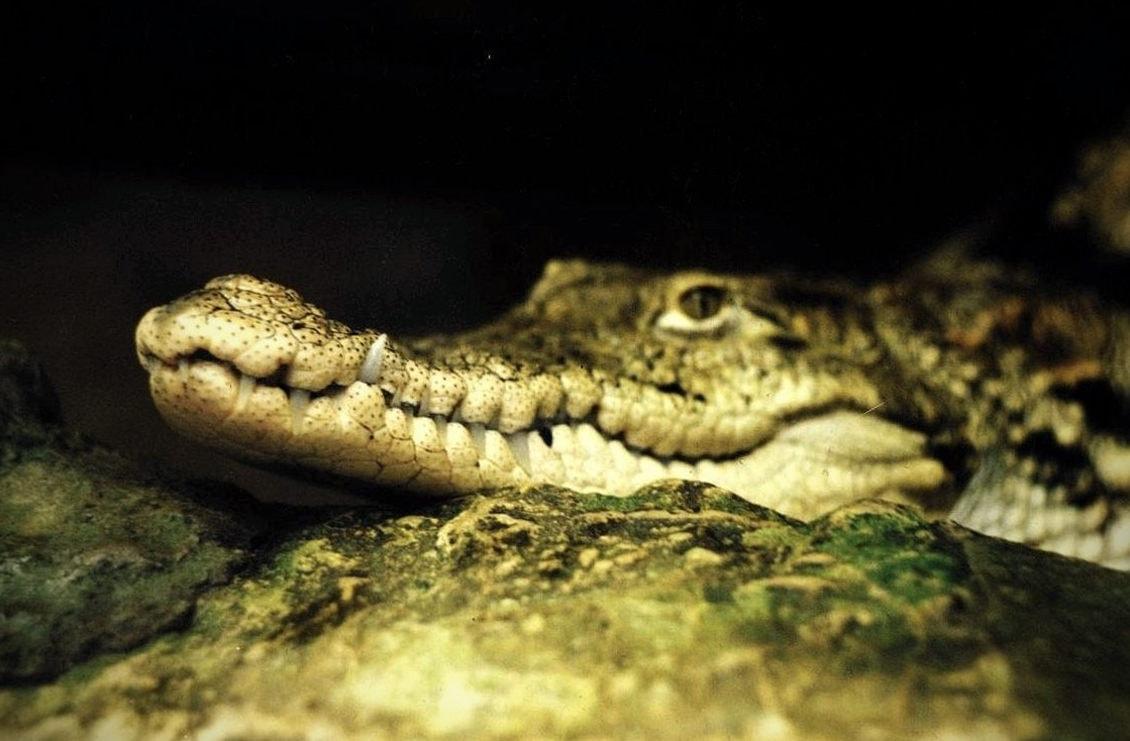Были обнаружены останки зубов крокодилов - вегетарианцев