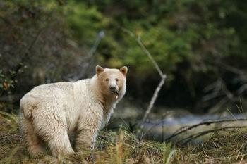 Кермод, или кермодский медведь