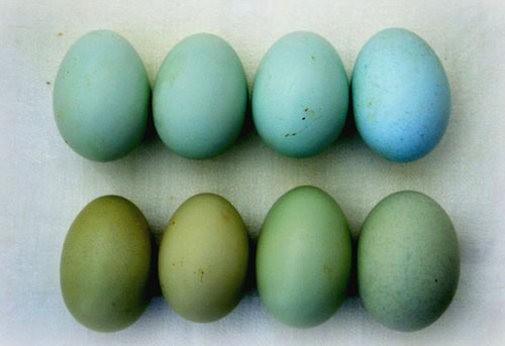 Голубые и зеленоватые куриные яйца