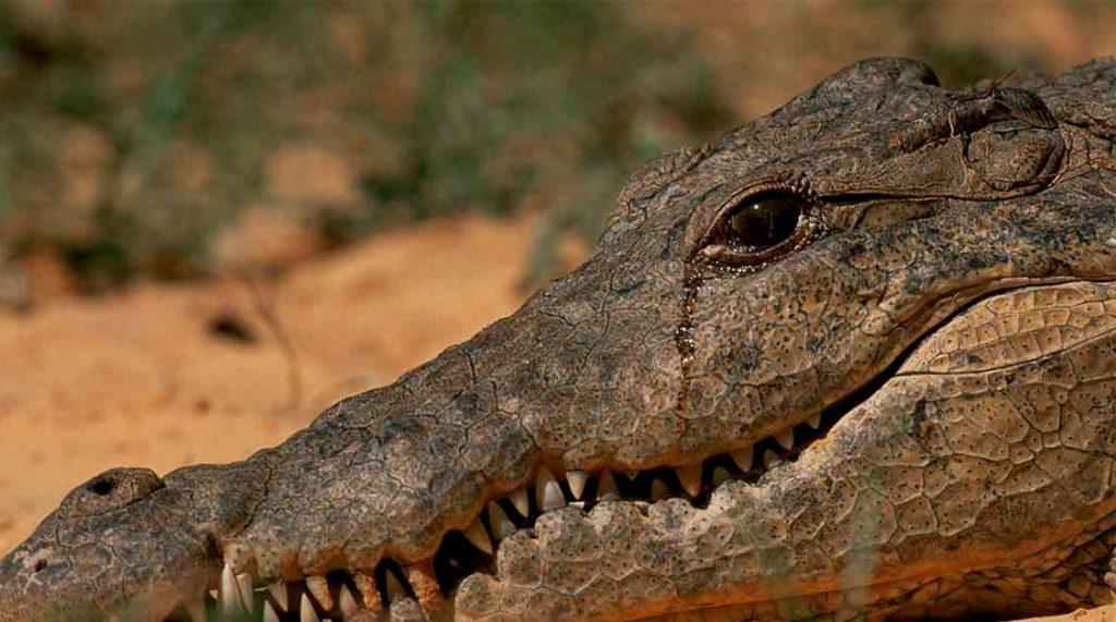 Слезы крокодила