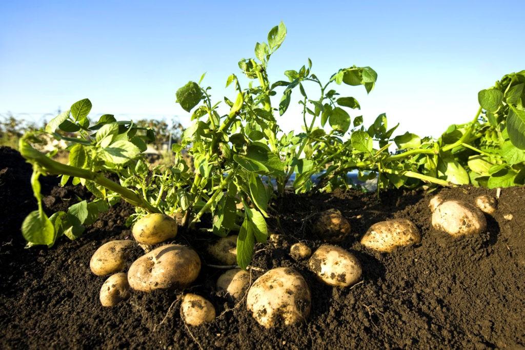 Картофельный куст