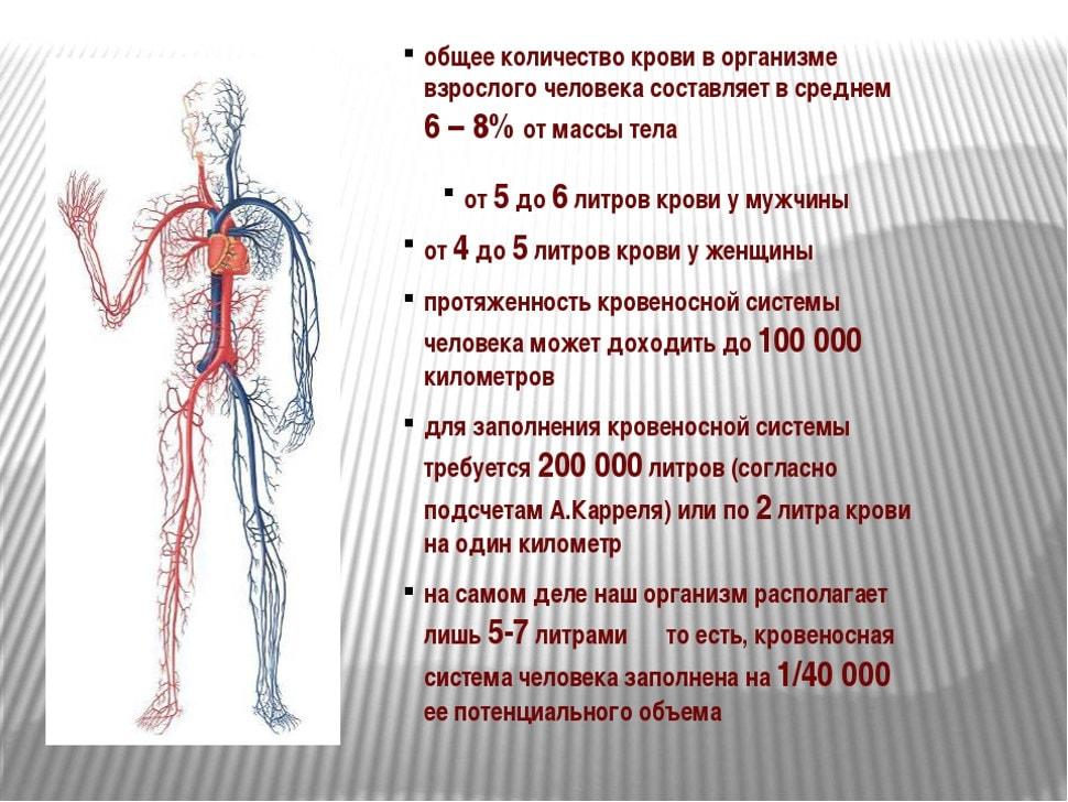 Сколько крови в человеке?