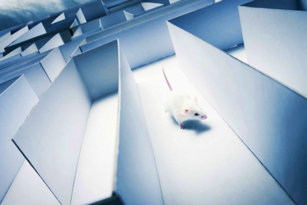Подопытным крысам снится лабиринт, который они преодолевают