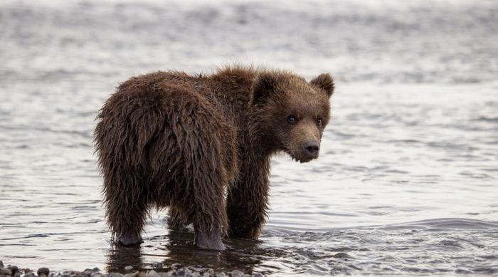 Даже у медвежат можно заметить кожный лоскут вместо хвоста