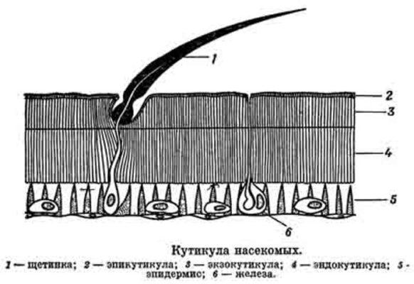 Кутикула насекомых