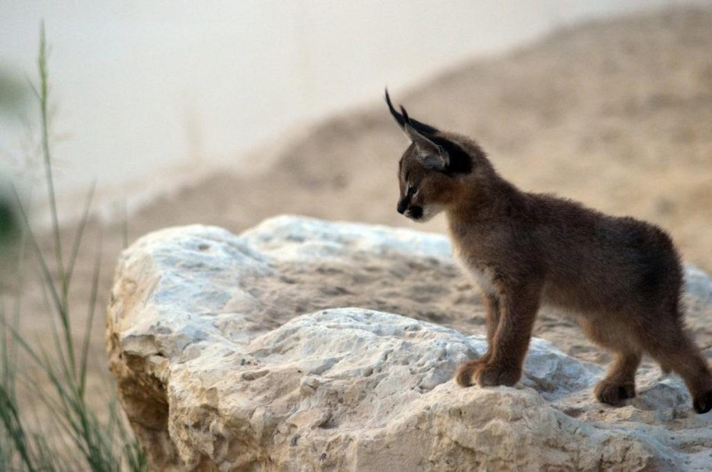Каракал - котенок