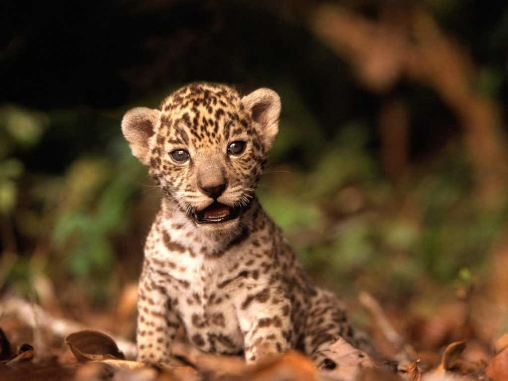 Котенок ягуара