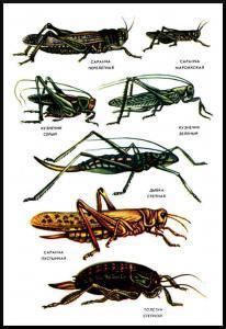 Отличие саранчи от кузнечиков