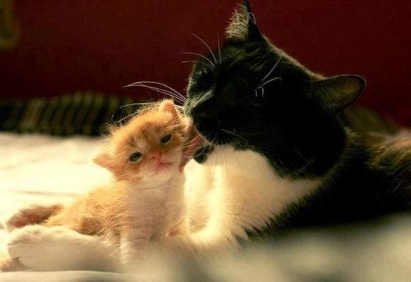 Кошка облизывает котенка