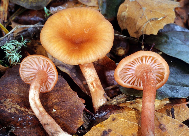 фото всех пластинчатых грибов национальной кухни