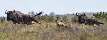 Лев и антилопа Гну