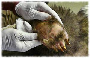 Кожа на подошве лап медведя