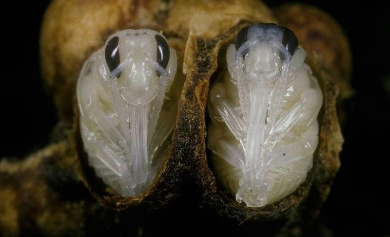 Личинки шмелей