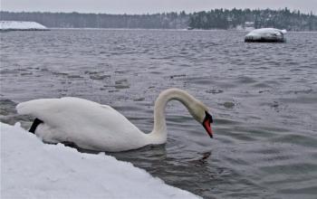 Лебедь остался зимовать