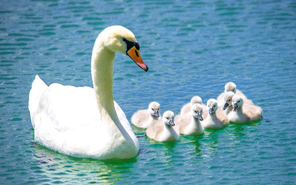Лебедь-шипун с птенцами