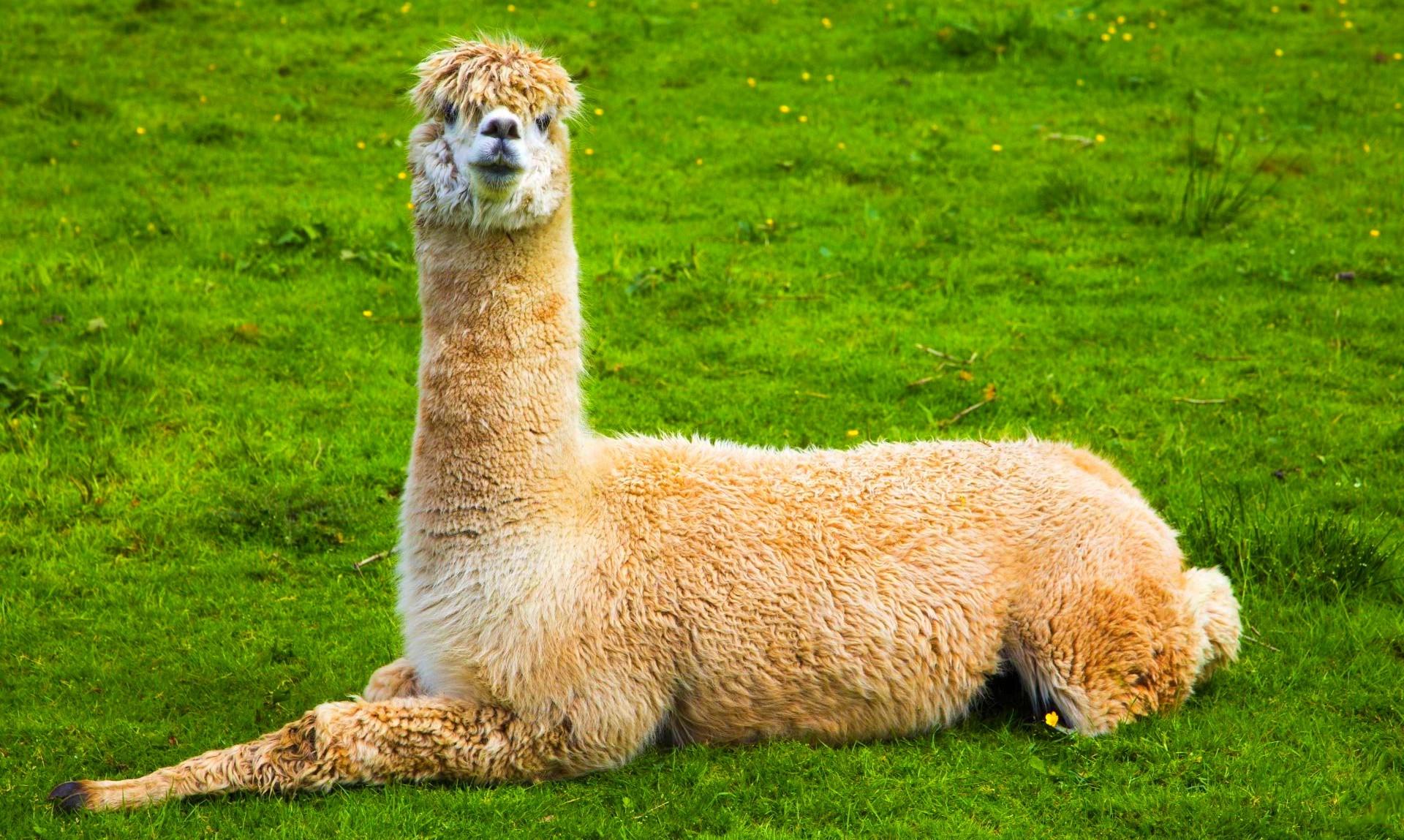 Лама – описание, особенности, ареал, размножение, виды, питание, образ жизни, фото и видео