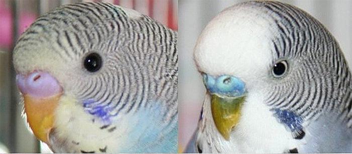 Линька у попугаев