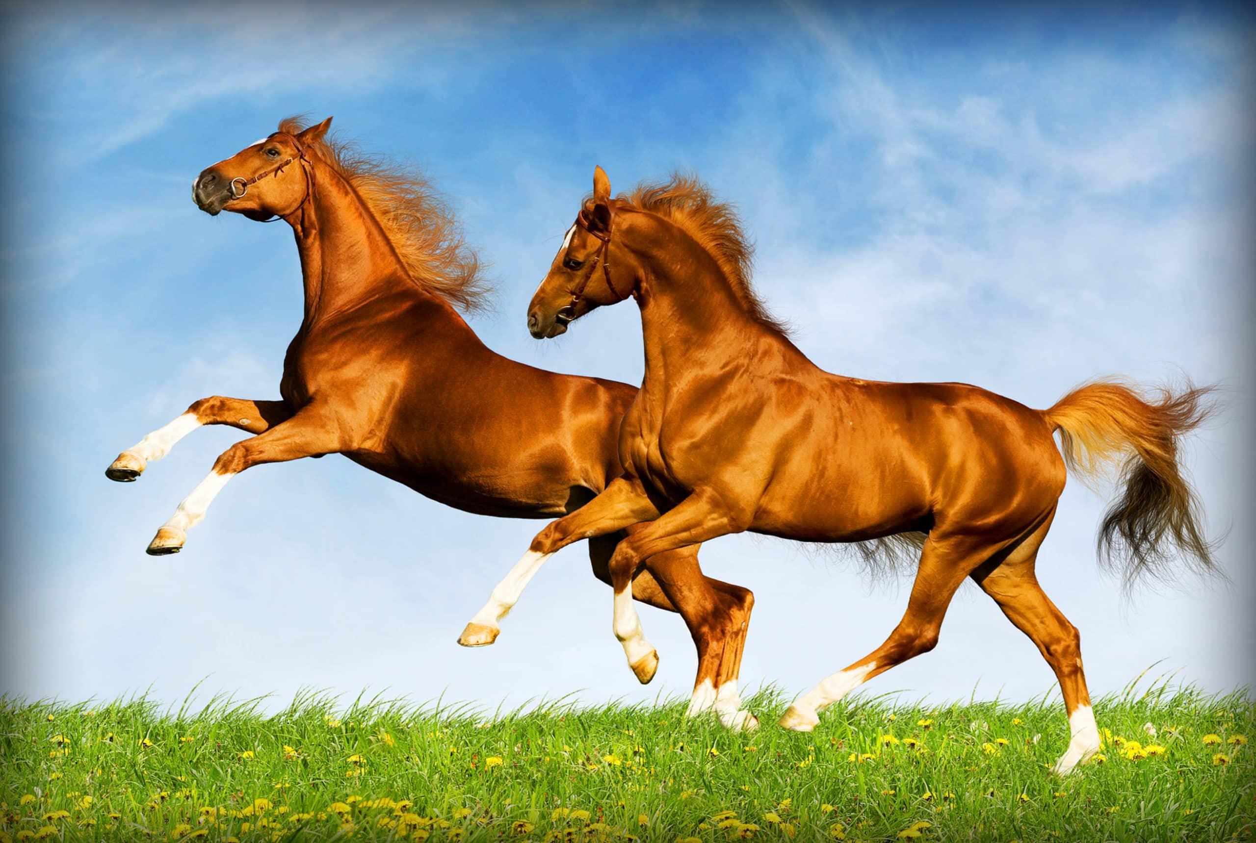 Когда у чистокровных лошадей появились родословные?