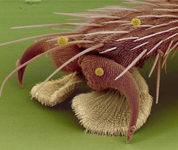 Лапка комнатной мухи под микроскопом