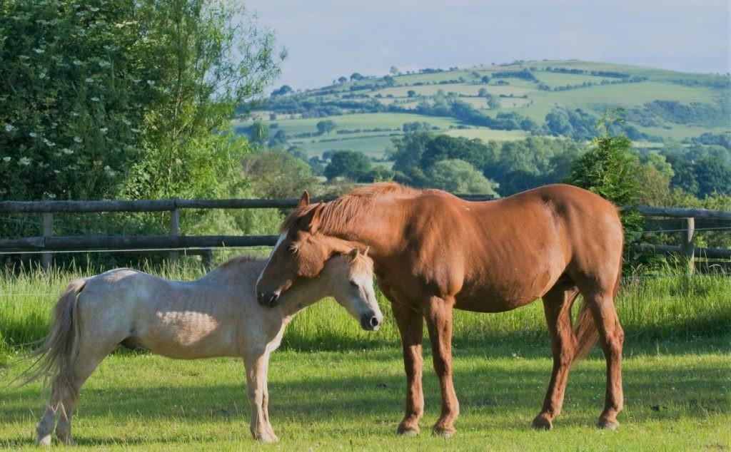 Две лошади, спящие стоя