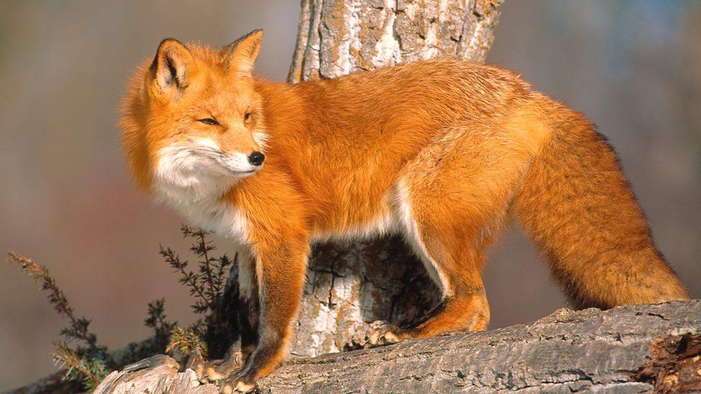 Лисица на поваленном дереве