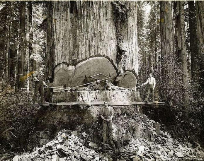 Лесорубы и гигантские секвойи