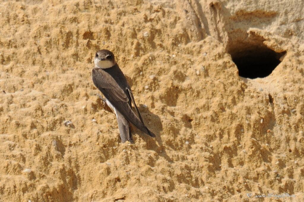 Ласточка береговушка и гнездо