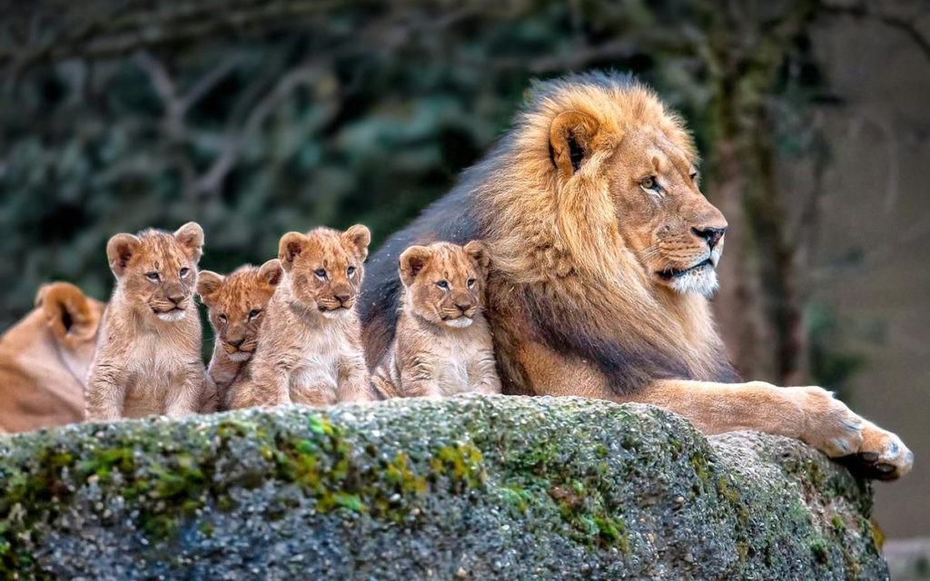 Лев и львята