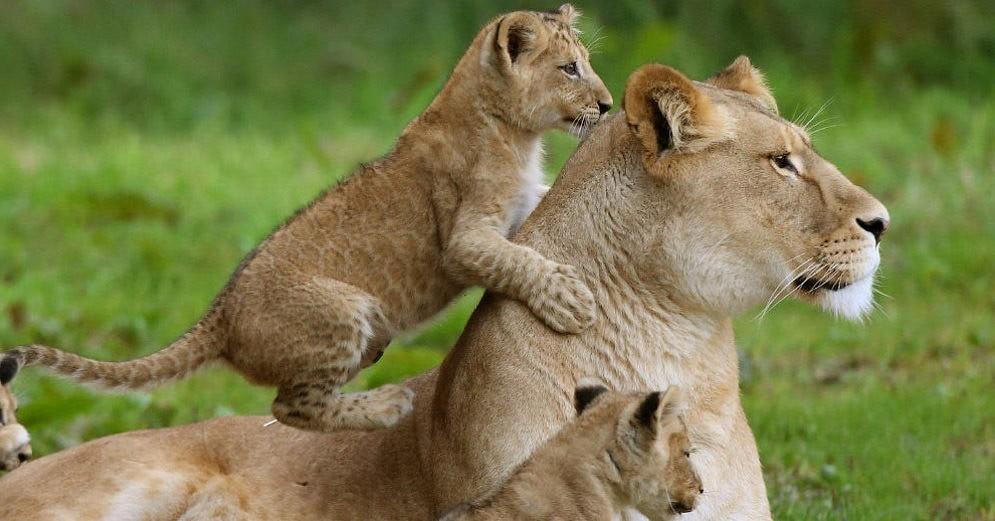 Львята и мама