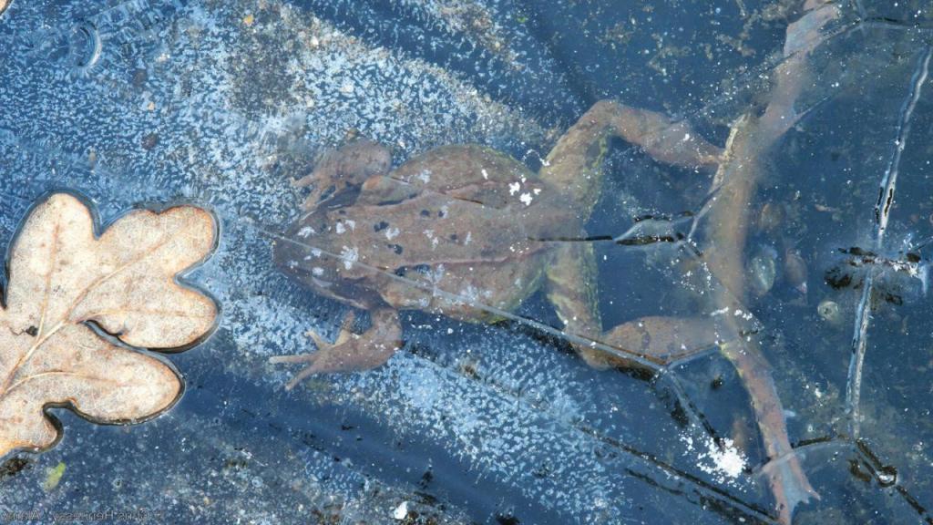 Зимующая лягушка