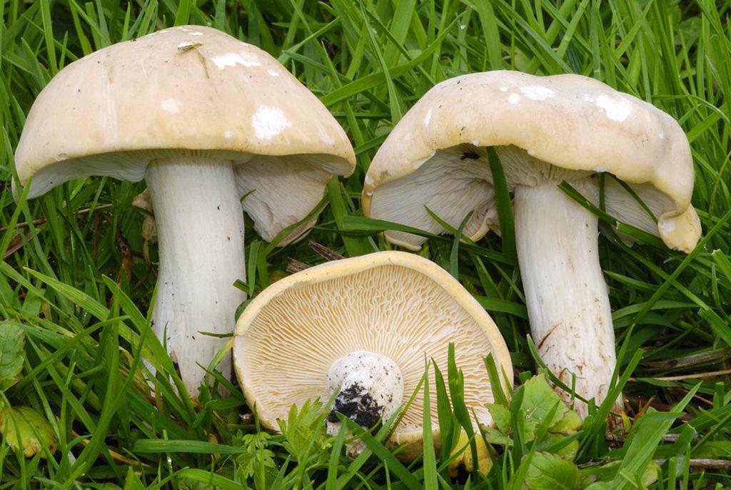 Майский гриб