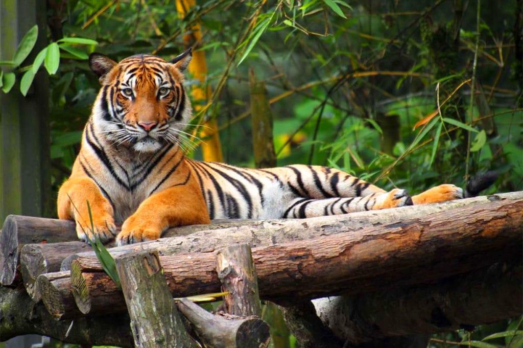 Малайский подвид-долгожитель