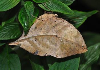 Маскировка у бабочек