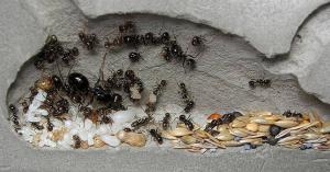 Матка муравьев