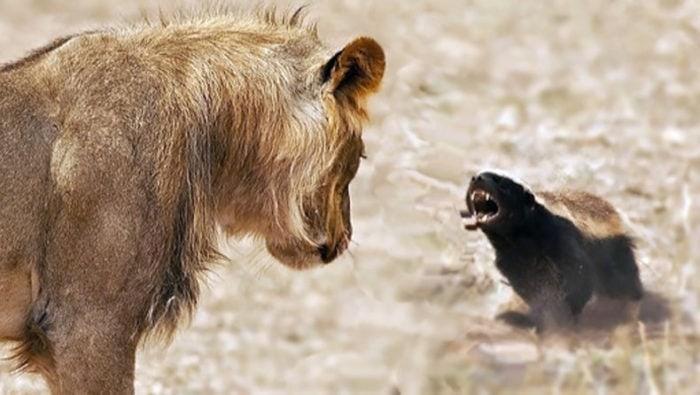 Медоед против льва