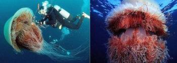 Арктическая цианея или медуза Львиная грива