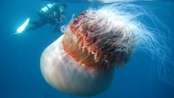 Медуза Номура