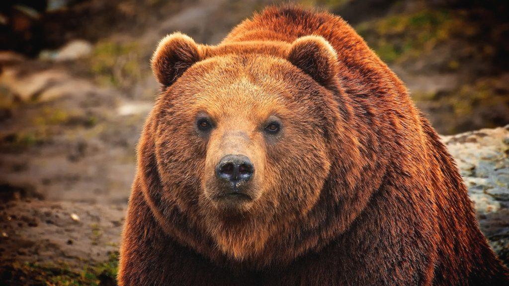 Медведь - один из главных врагов зубра