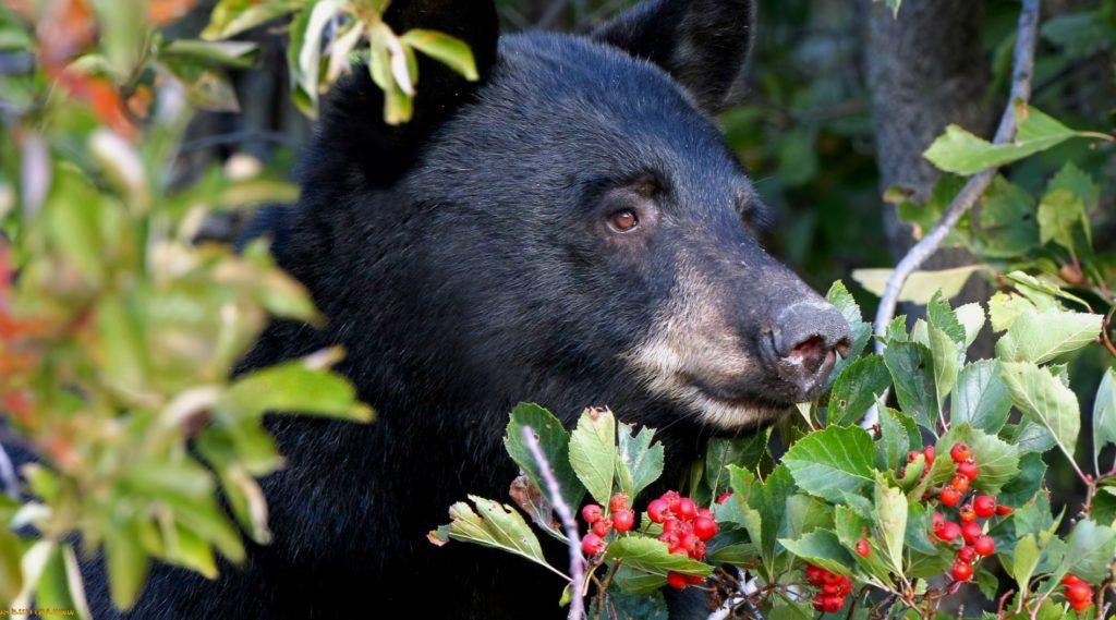 Некоторые медведи любят ягоды